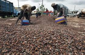 Fewer workers to pick cacao means less beans and higher prices